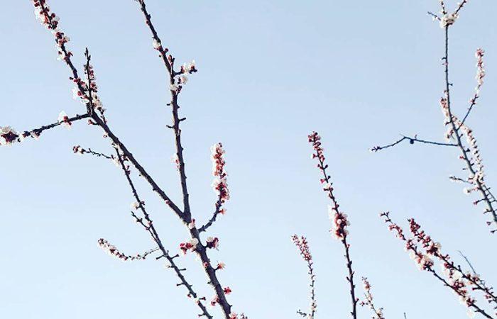 Branches d'arbre qui fleuri